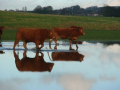 flood-cows-lg